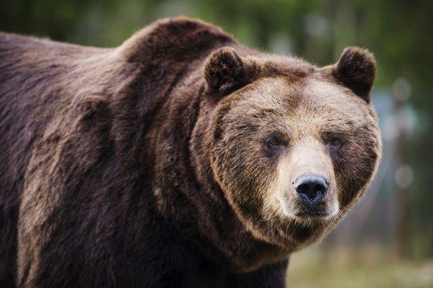 Karhun haaskaruokinta voi vähentää sen normaalisti ihmistä välttelevää käytöstä. Kuvituskuva.