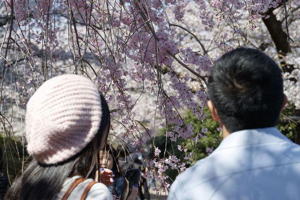 Tokion Chidorigafuchi-puistossa kukkii näin kauniisti