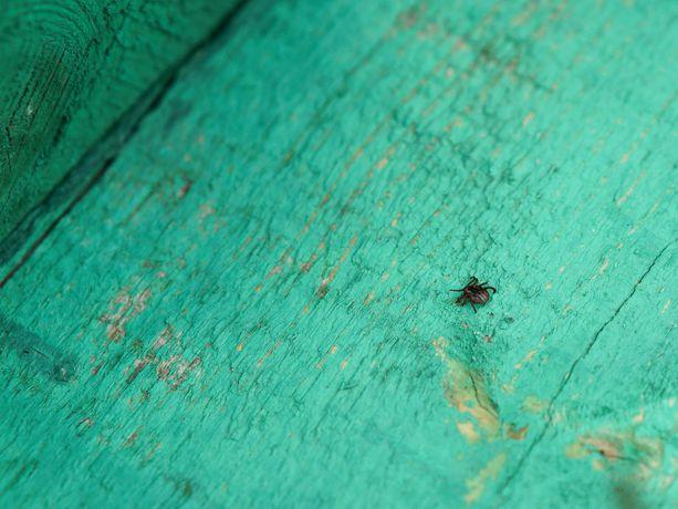 Punkit ovat viheliäisiä loisia, mutta riski saada tauteja on silti pieni.