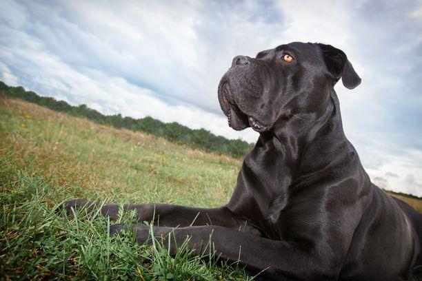 Cane corso on toiminut työkoirana muun muassa vartioinnissa, karjan suojelussa ja paimennuksessa sekä suurriistan metsästyksessä. Cane corsolla on melko voimakas puolustusvietti ja se ei välttämättä ole sosiaalinen muita koiria kohtaan.