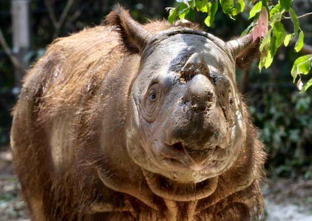 Kahdeksanvuotias uros nimeltään Harapan kuvattuna sarvikuonojen suoja-alueella Indonesiassa.
