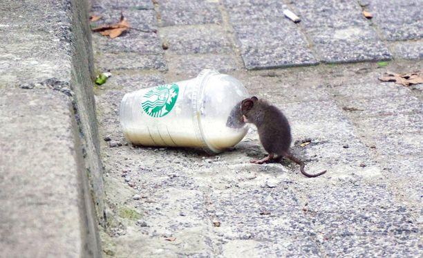 Kuvan rotta ei ole kissan kokoinen eikä liity tapaukseen.
