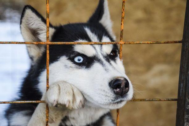 Lopetettu koira oli rodultaan siperianhusky. Kuvan koira ei liity tapaukseen.