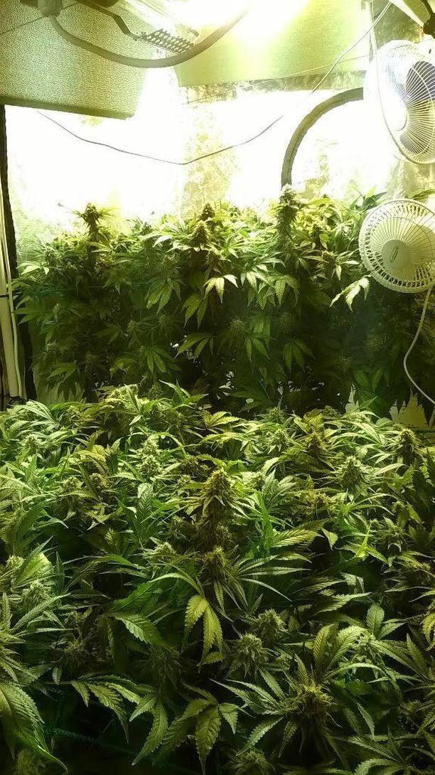 Kasvattamoon oli tehty kasveille korkealuokkaiset kasvuolosuhteet.