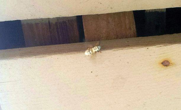 Vaalea ampiainen ryömi viikonloppuna Kuopiossa.
