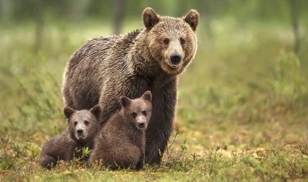 Havaitut karhut ovat todennäköisesti emo poikasineen. Arkistokuva.
