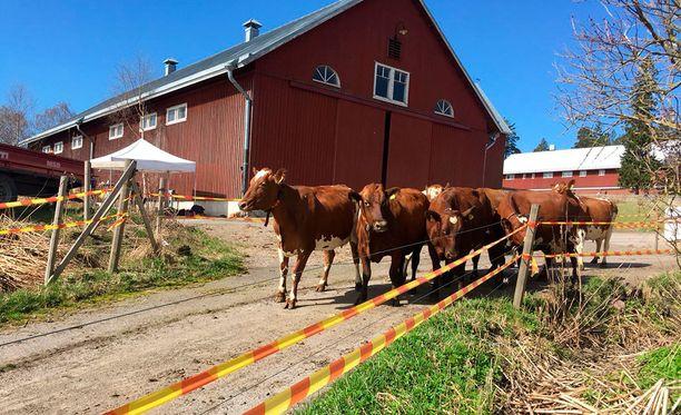 Viikin lehmät ryntäsivät riemuissaan laitumelle.