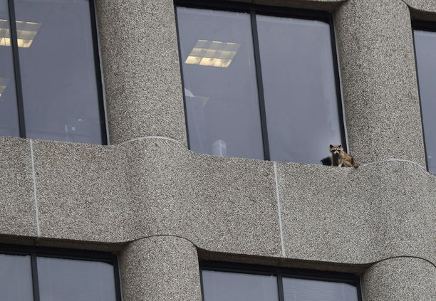 Pesukarhu jäi lepäilemään pitkän kiipeämisen jälkeen ja jatkoi matkaansa katolle vasta yöllä.