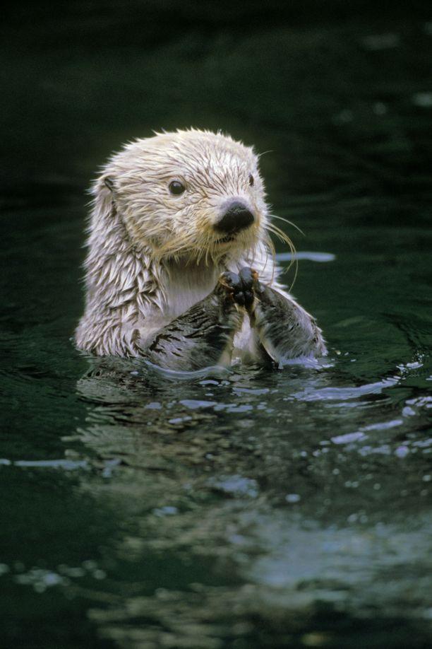 Saukot ovat melkoisia epeleitä uiskentelemaan. Kuvan saukko ei liity tapaukseen.