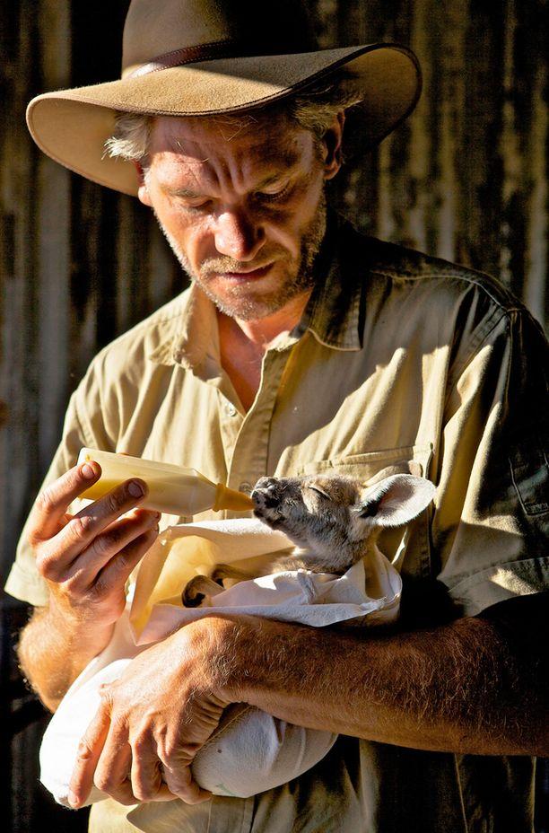 Brolga ruokkii poikasiaan neljän tunnin välein, myös keskellä yötä.
