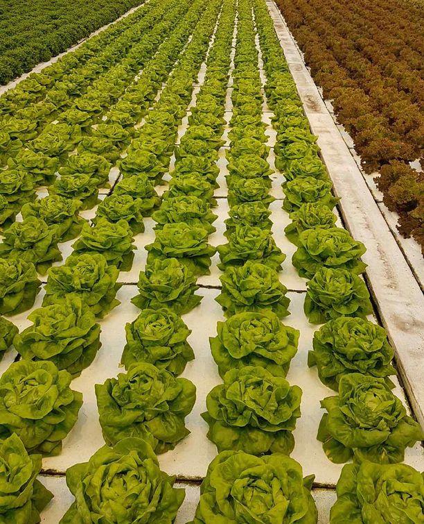 Lindrothin puutarhan salaatit ovat suorissa riveissä.