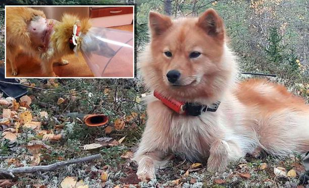 Raiku-koira sai vakavat vammat kesällä. Nyt koiraa ei tunnistaisi samaksi. Sillä on tuuhea turkki, ja vuotavat avohaavat ovat muisto vain.
