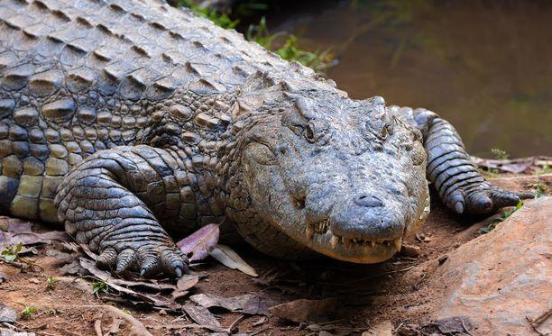 Metsästäjä joutui krokotiilien syömäksi Zimbabwessa. Kuvituskuva.