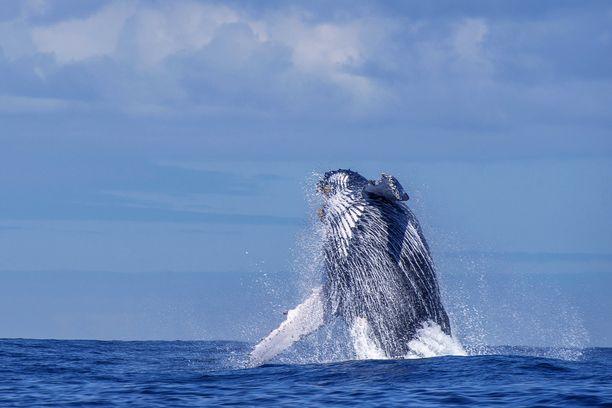 Ryhävalas voi painaa jopa 40 tonnia. Arkistokuva.