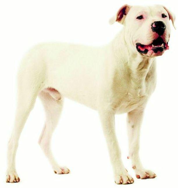 OMAPÄINEN Dogo argentino on jalostettu alun perin suurriistan metsästykseen.