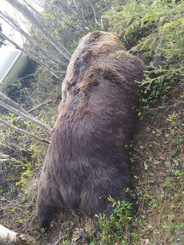Suomussalmelta löytynyt karhu on arviolta noin 300-kiloinen.
