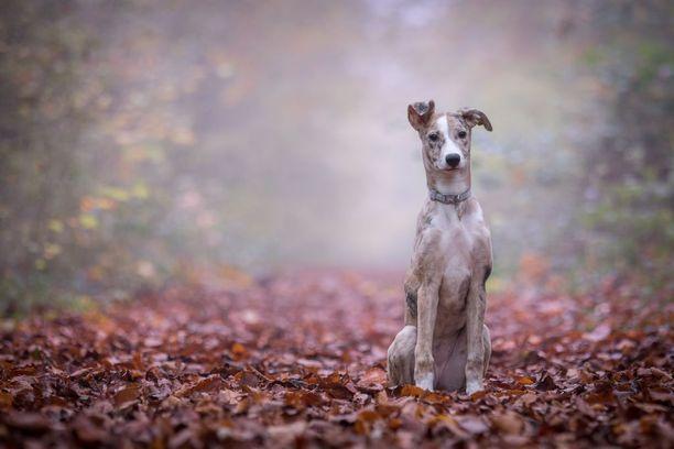 Tärkein koiran myöhempää eloa viitoittava tekijä on sen pentuajan olot ja sosiaalistaminen.