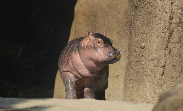 Suloinen Fiona pälyilee eläintarhayleisöä.