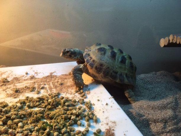 Pepe on taas kotona. Se löytyi mutaisena horroksesta, mutta on nyt jo hereillä ja aterioinut.