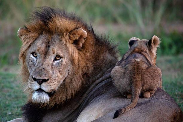 Pikkuruinen leijona on löytänyt mukava lepoalustan.