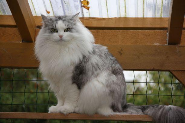 Veeti on voittanut näyttelyurallaan jo lukuisia palkintoja Suomessa ja ulkomailla. Näyttelyuraa voi olla edessä vielä useita vuosia, kertoo kissan omistaja Jaana Sirén.