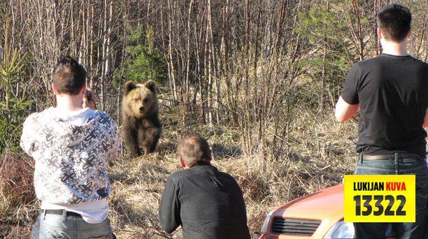 Useat kymmenet ihmiset ovat käyneet ihmettelemässä Soinin kesyä karhua.