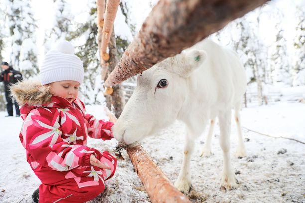 Porot viettävät talvet töissä ja kesät laitumilla. Venäläinen Sasha pääsi paijaamaan poroa Lammintuvalla.