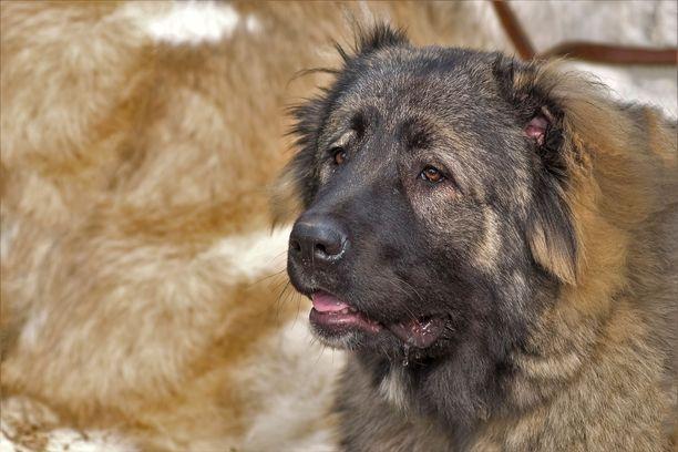 Oikeudessa todistaneet naapurit kertoivat pelänneensä syytettyjen koiraa. Kuvituskuva kaukasianpaimenkoirasta.