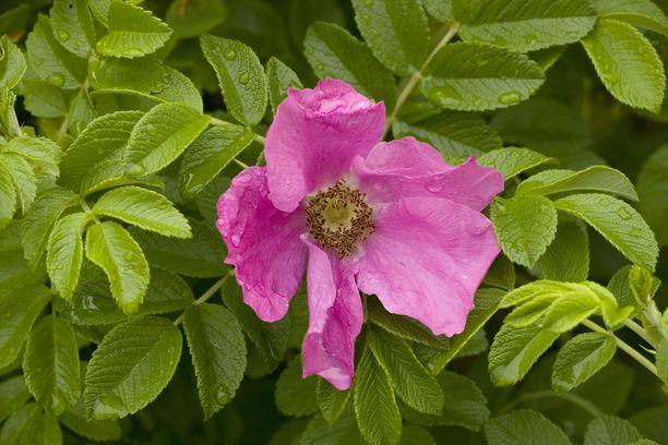 Kurtturuusu on tuttu näky Suomessa. Kesäkuun alusta kasvin myynti kielletään osana haitallisten vieraslajien kieltoa.