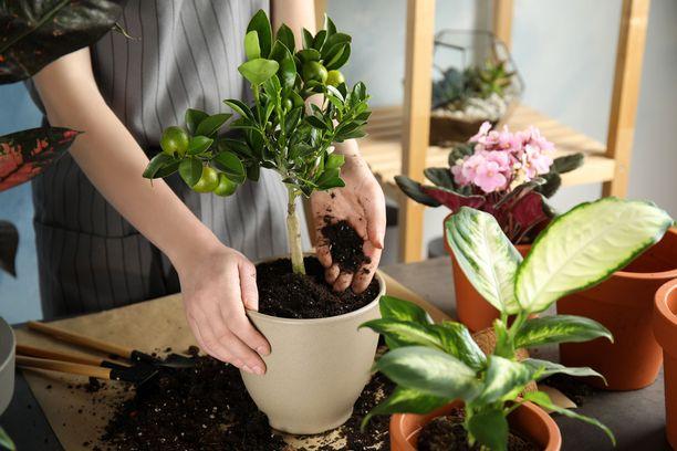 Kaikki kasvit eivät tarvitse uutta multaa yhtä usein. Osalle kasveista riittää se, että mullan vaihtaa kahden vuoden välein.