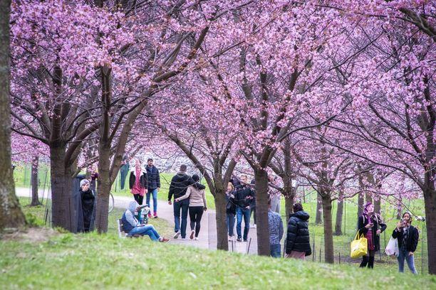 Jos ihmiset pakkautuvat tiiviisti puistoihin, myös niistä voi tulla niin sanottuja viruslinkoja. Kuvituskuva Roihuvuoren kirsikkapuistosta.
