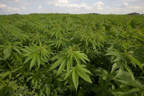 Serbialainen rikollisryhmä kasvatti Suomen huumemarkkinoille kilokaupalla kannabista, väittää syyttäjä. Kuvituskuva.