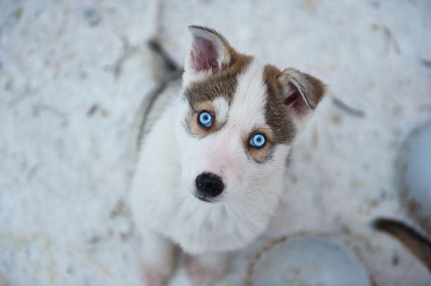 Vetonaula. Nuori siperianhusky kuvattuna Levillä viime syyskuussa. Kuvan koira ei liity uutiseen.