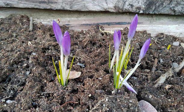 Myös krookukset ovat alkaneet kukkia monin paikoin. Tässä yksi oivallinen esimerkki.