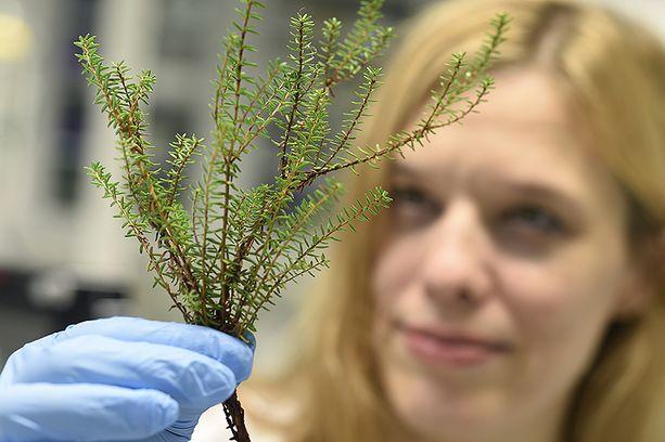 Tutkija Anna Maria Pirttilä pitelee tässä kädessään variksenmarjan oksaa.