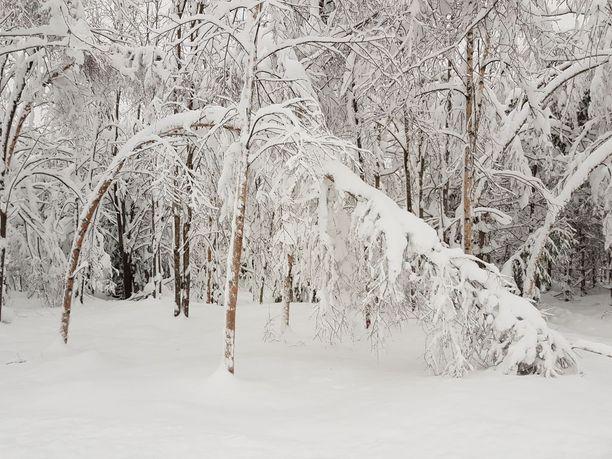 Puiden lumipaino uhkaa vain kasvaa. Helpotusta tulee ensi viikon alussa, tai sitten ei.