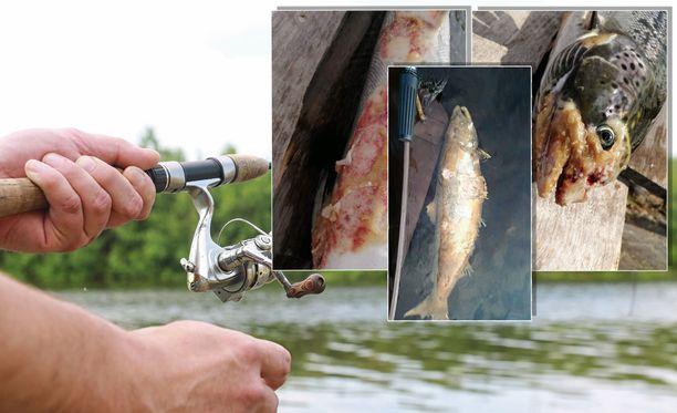 Kalat ovat kelluneet passiivisesti pintavesissä, eivätkä ole reagoineet kalastajien vieheisiin.
