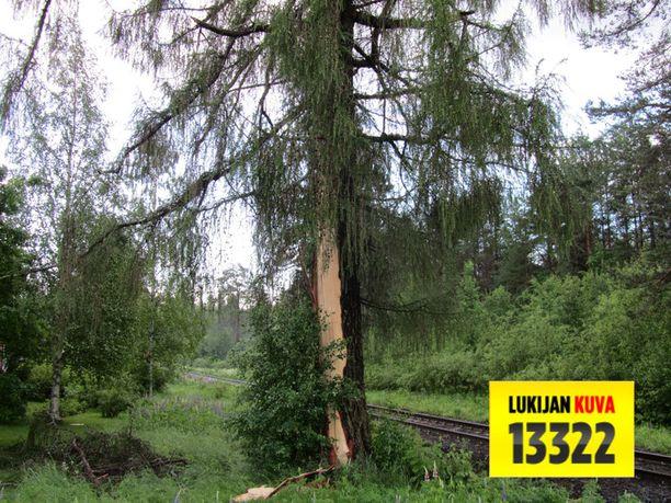 Salama iski suureen lehtipuuhun ja halkaisi sen rungon. Puusta oli lentänyt säleitä metrien päähän.