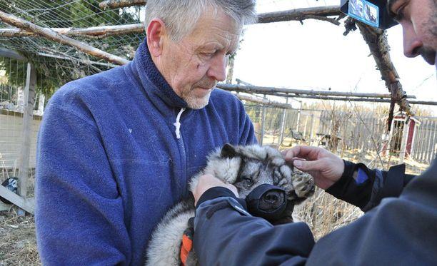 Utu-kettu eläinlääkärin tutkittavana villieläinhoitolan toiminnanjohtajan Markku Harjun sylissä.