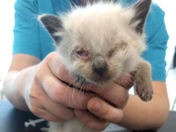 Osalla pelastetuista kissoista oli vaarallisia silmätulehduksia.