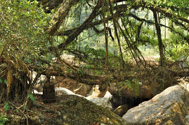 Elävistä juurista kasvatettu silta kestää hyvin lämpimässä ja kosteassa ilmastossa.