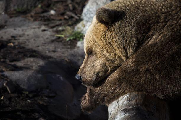 Unisena viime viikot nuokkuneet Korkeasaaren karhut luovuttivat ja painuivat talviunille.