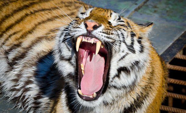 Tiikeriä on käytetty sirkuksissa pitkään.