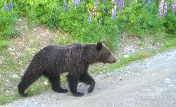 Karhu oli niin kesy, ettei kavahtanut edes tieltä kantautuvia ääniä.
