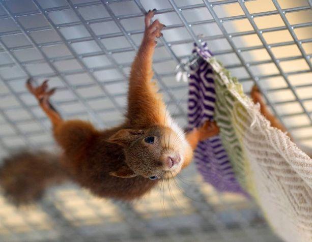 Oravat hyökkäsivät pikkupojan päälle tämän ruokittua yhtä oravaa. Kuvituskuva.