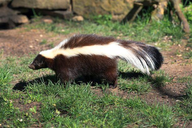 Skunkin eli haisunäädän näköaisti on heikko. Otus suunnistaa hajuaistin perusteella.