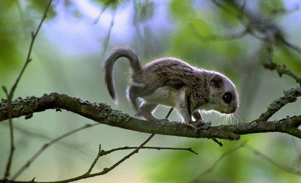 Liito-oravan poikanen on pieni nappisilmä.