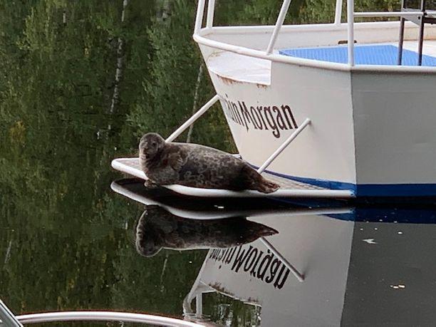 Norppa tuijotti Captain Morgan -veneen perästä.