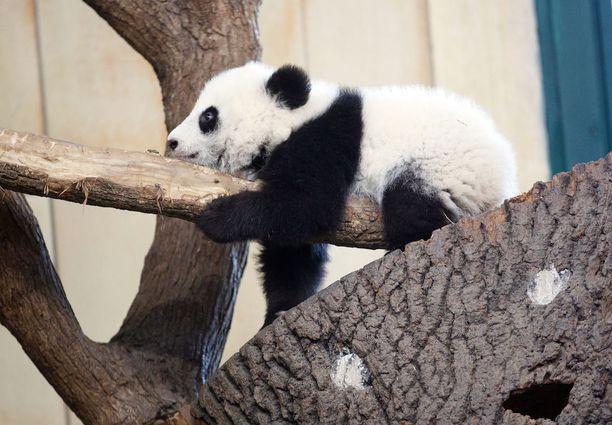 Kuvassa kiinalainen lapsityöläinen hiilikaivoksella. Eikun vankilassa oleva kiinalainen toimittaja. Eikun sori, tosi söpö panda!