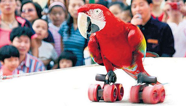 Nankingin eläintarhan vieraat seuraamassa henki kurkussa, tuiskahtaako rullaluistelua harrastava papukaija nokalleen vain ei.